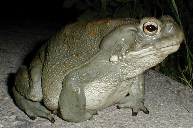 Poisonous Sonoran desert toad pictures