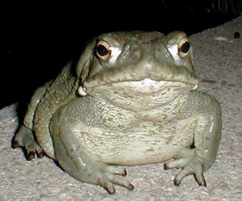 Facts About Sonoran desert toad pictures