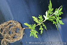 Smoking wormwood extract for the