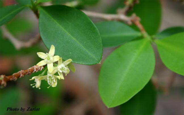 """Erowid Online Books : """"Ayahuasca: alkaloids, plants, and analogs"""" by ..."""