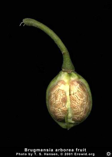 About >> Erowid Plants Vaults : Images : brugmansia arborea fruit