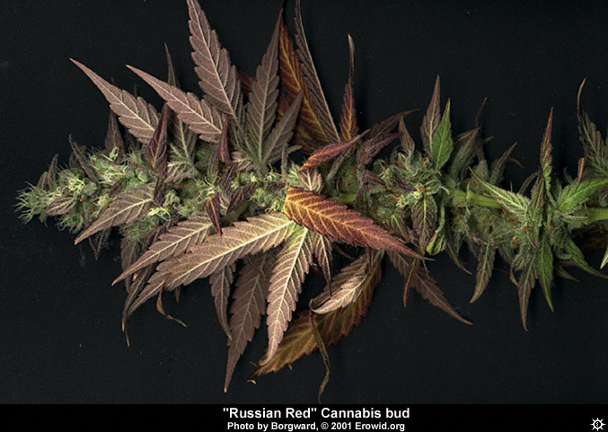 This is a picture of some freshly harvested cannabis buds. This is what weed