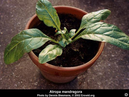 mandragora_officinarum6.jpg