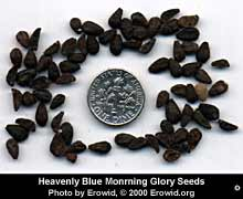 Morning Glory Images
