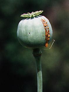 Erowid Plants Vaults : Images : papaver somniferum pod