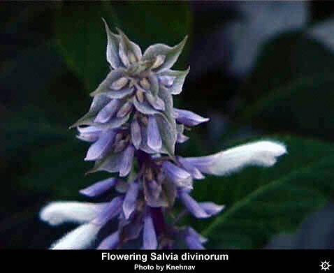 Erowid Plants Vaults : Images : salvia divinorum flower
