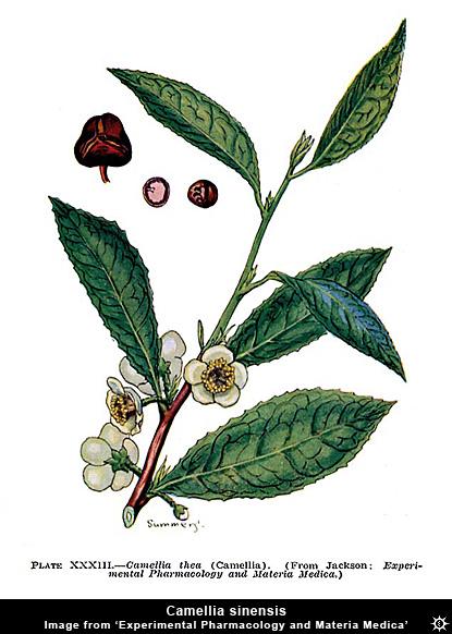 Erowid Plants Vaults : Images : camellia sinensis ...