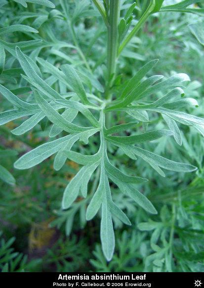Erowid Plants Vaults Images Artemisia Absinthium Leaf I2004e0149 Disp