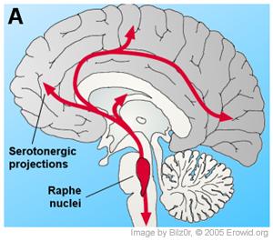写真:セロトニン脳